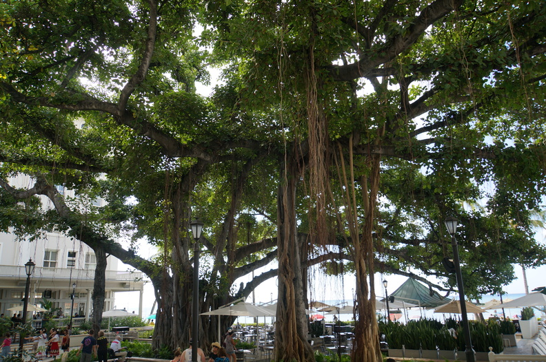 Banyon tree at Moana Westin hotel