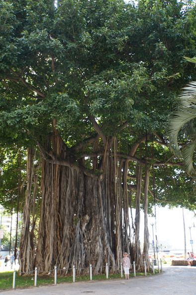 Banyon tree at Waikiki