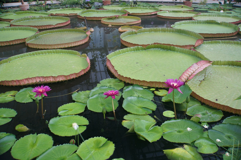 monster Asian water lillies