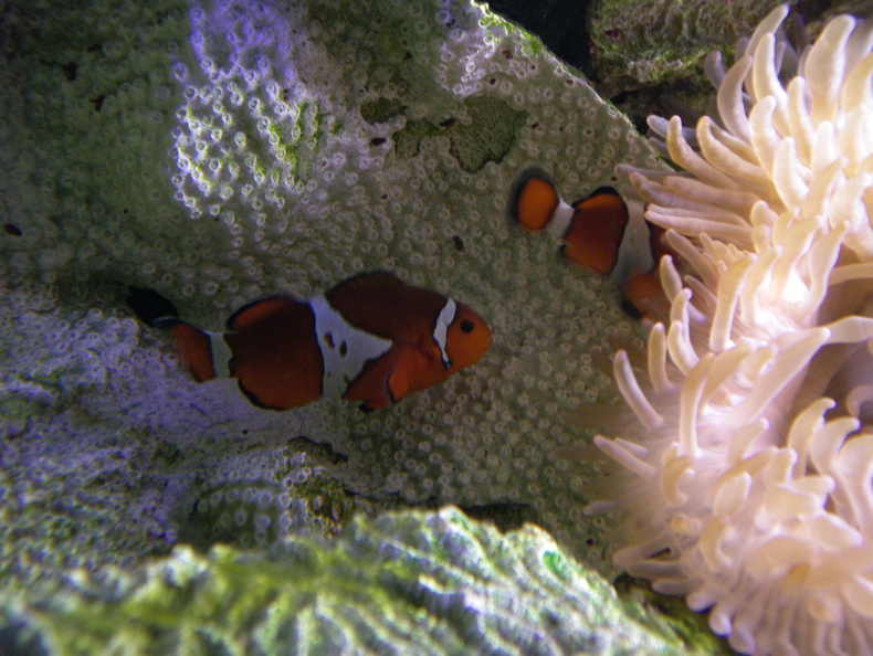 Clown fish (aka Nemo)
